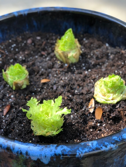 growing-lettuce (4)