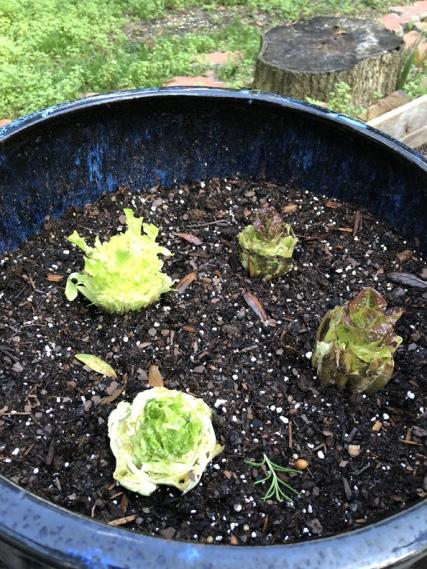 Lettuce-from-lettuce (2)