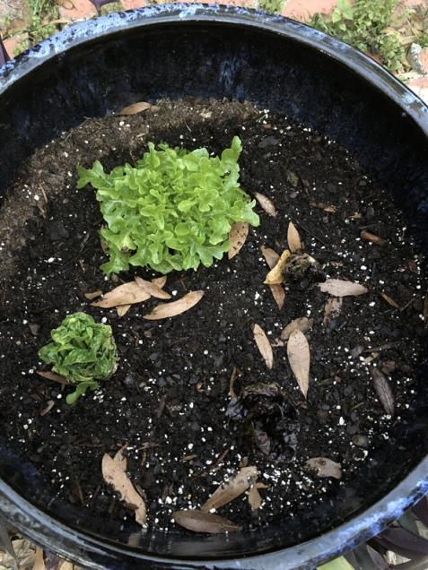 Lettuce-from-lettuce (3)