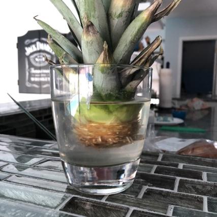 grow-pineapple (8)