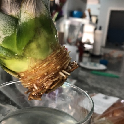 grow-pineapple (9)